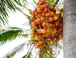 Малайзия утверждает, что пальмовое масло - это божий дар